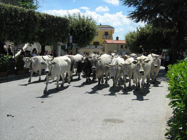 Oggi, la prima tappa della transumanza: dalla Puglia le mandrie si spostano verso il Molise