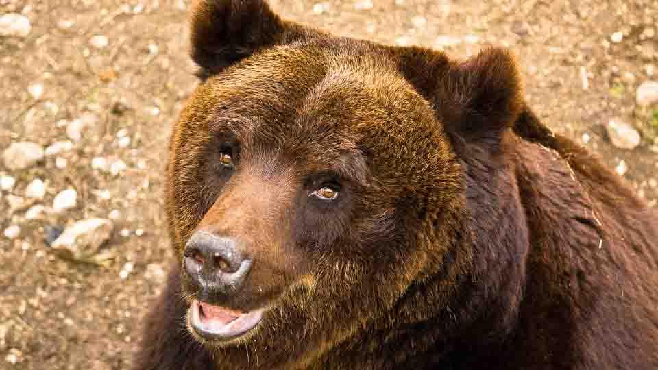 Pnaml, individuate 37 strutture potenzialmente pericolose per l'orso bruno