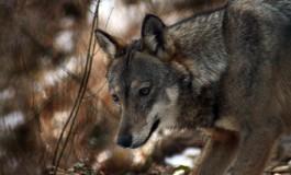 """Wwf: """"Il lupo non è il flagello degli allevatori"""""""
