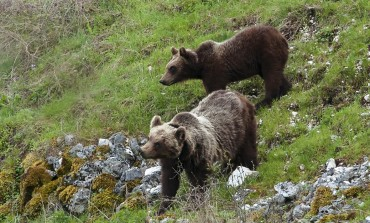 Pnalm, le guardie salvano la vita ad un'orsa nel mirino dei bracconieri