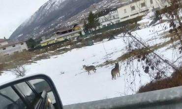 Castel di Sangro, branco di lupi entra in paese