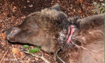 'Salviamo l'orso' pubblica il video del plantigrado liberato dal laccio