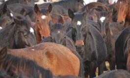 Virus su cavalli, Asl 1 attiva i controlli sulla provincia dell'Aquila