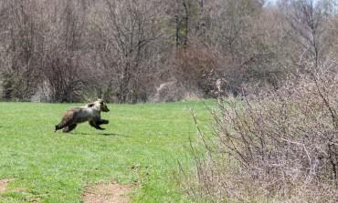 Pnalm, sono 11 i cuccioli di orso marsicano contati nel 2018