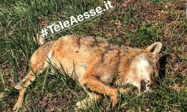 """""""La lupa è stata uccisa da un proiettile"""", il responso del veterinario Asrem di Agnone"""