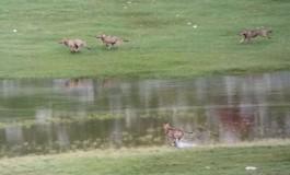 Esclusivo - Barrea, lago vivo: 4 lupi giocano e fanno il bagno