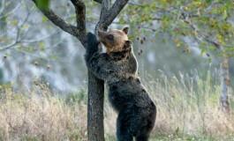 WWF lancia un concorso sull'orso marsicano