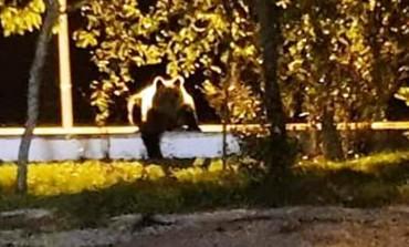 Orso bruno marsicano a spasso per le strade di Carovilli