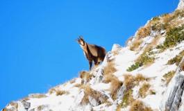 Pnalm, controlli serrati per proteggere il camoscio d'Abruzzo