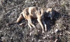 Pnalm, forse avvelenato il lupo trovato senza vita a Lecce nei Marsi