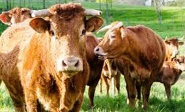 """Carovilli, """"Premio scuola digitale"""" al collare """"intelligente"""" per le mucche"""