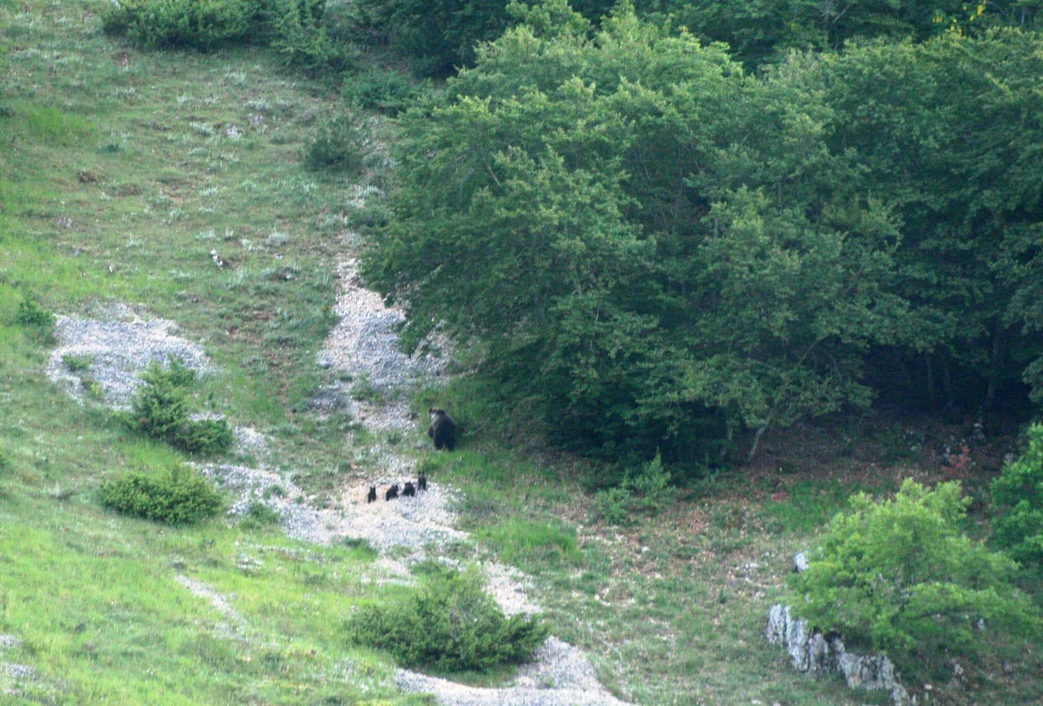 orsa m. con 4 cuccioli
