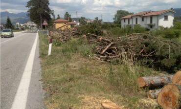 Castel di Sangro, si accende la polemica per l'abbattimento dei pini sulla statale 17