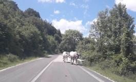 Alfedena, automobilisti preoccupati: attenzione alle mucche sulla ss 158