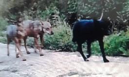 Carovilli, tre lupi finiscono nella fototrappola