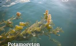 Piante acquatiche nel Lago di Barrea, il Parco e l'ENEL favoriscono la biodiversità