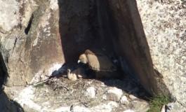 Monte Velino, otto pulcini di grifone sono sgusciati dalle uova nella Riserva Naturale Orientata