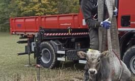 Vitello cade nel pozzo, Vigili del Fuoco estraggono il bovino con la gru