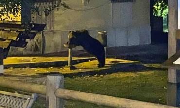 Lettera a Juan Carrito, l'orso che beve alla fontanella di Roccaraso