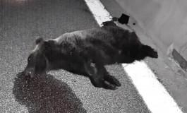 Orso investito sulla A25, morto il plantigrado di 3 anni sull'Autostrada