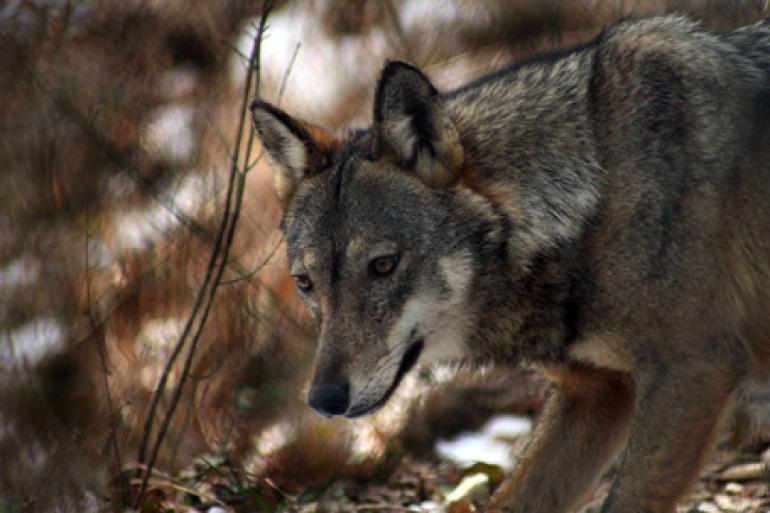 Abbattimento selezionato dei lupi, rinviato il provvedimento