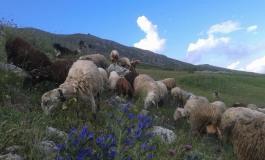 Transumanza dei sapori a Roccamandolfi, seguendo un gregge di 300 pecore