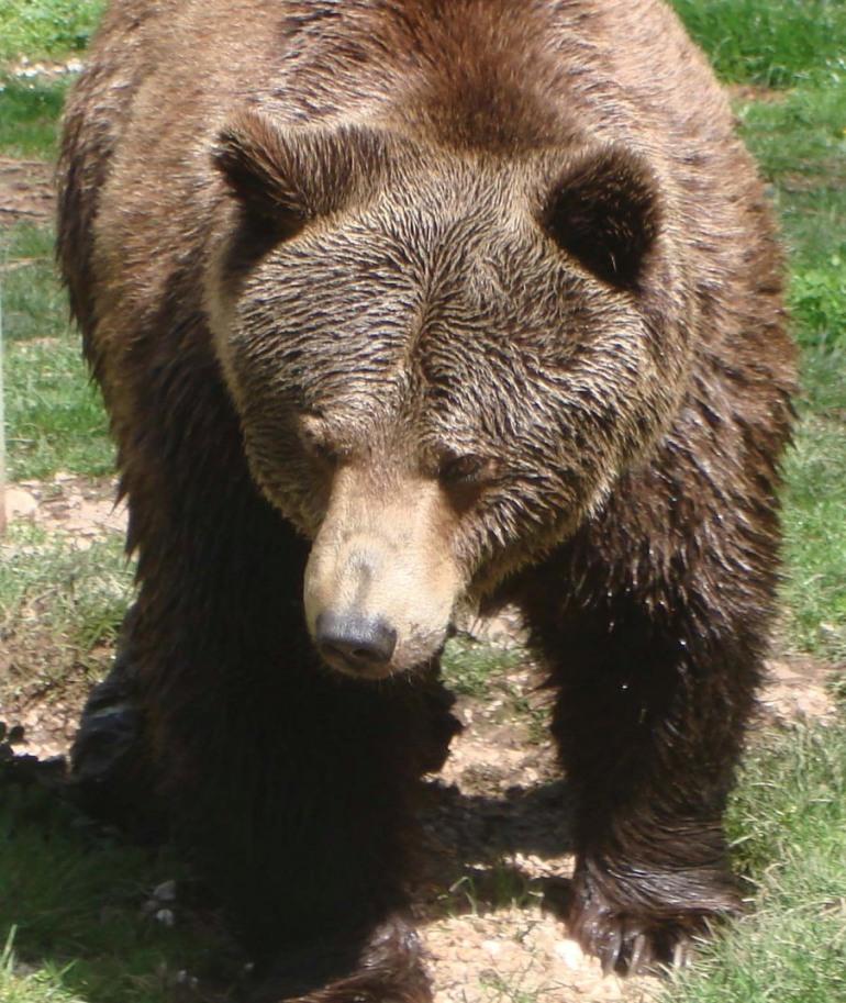 Pnalm, le guardie parco trovano la carcassa di un orso