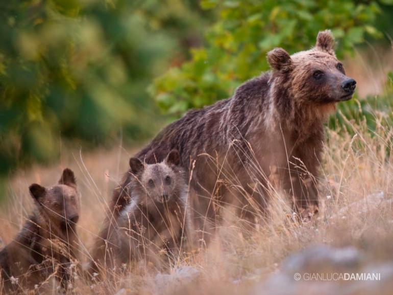 Pnalm, sono 12 gli orsi marsicani nati nel 2017
