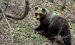 L'orsa Peppina è stata catturata, istallato radiocollare dal Parco Majella