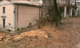 Punibile fino a 3 anni di reclusione l'autore del taglio all'albero monumentale