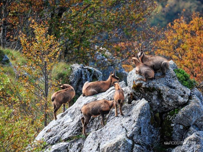 """598 i camosci """"contati"""" nel censimento annuale del Parco Nazionale d'Abruzzo, Lazio e Molise"""