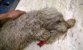 Ateleta, strage di cani da tartufo: 19 avvelenamenti