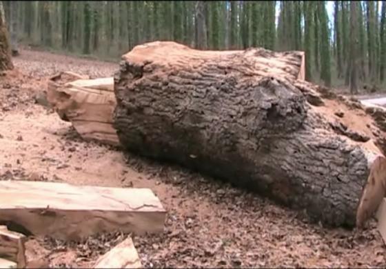 Castel di Sangro, scandalo ambientale: motosega abbatte albero monumentale, la procura indaga