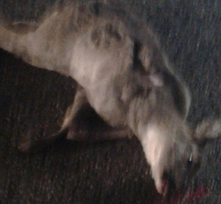 Roccaraso statale 17, cervo muore dopo l'impatto con due automobili