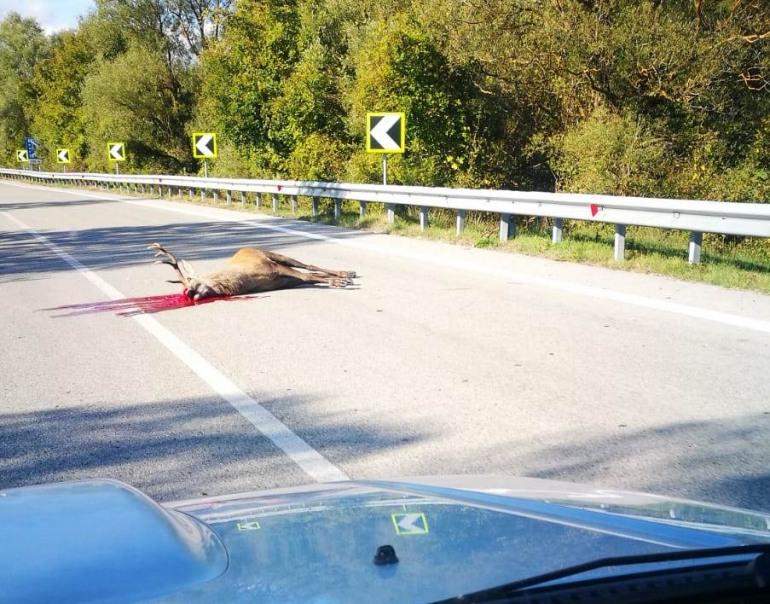 San Pietro Avellana, cervo si schianta contro automobile e muore