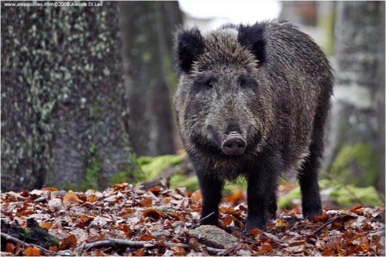 Molise: più importante l'orso bruno o tutelare la caccia al cinghiale?