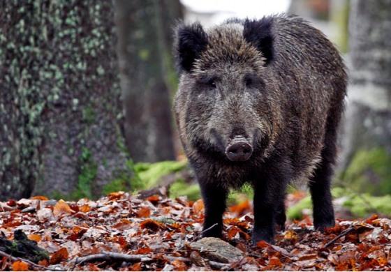 La Regione Abruzzo autorizza la caccia al cinghiale fino a giugno