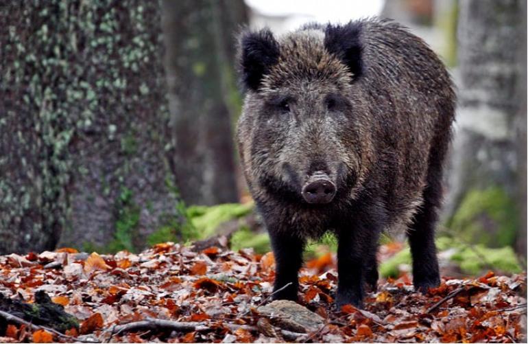 Danni da fauna selvatica, Gal Alto Molise propone incontro pubblico a Poggio Sannita