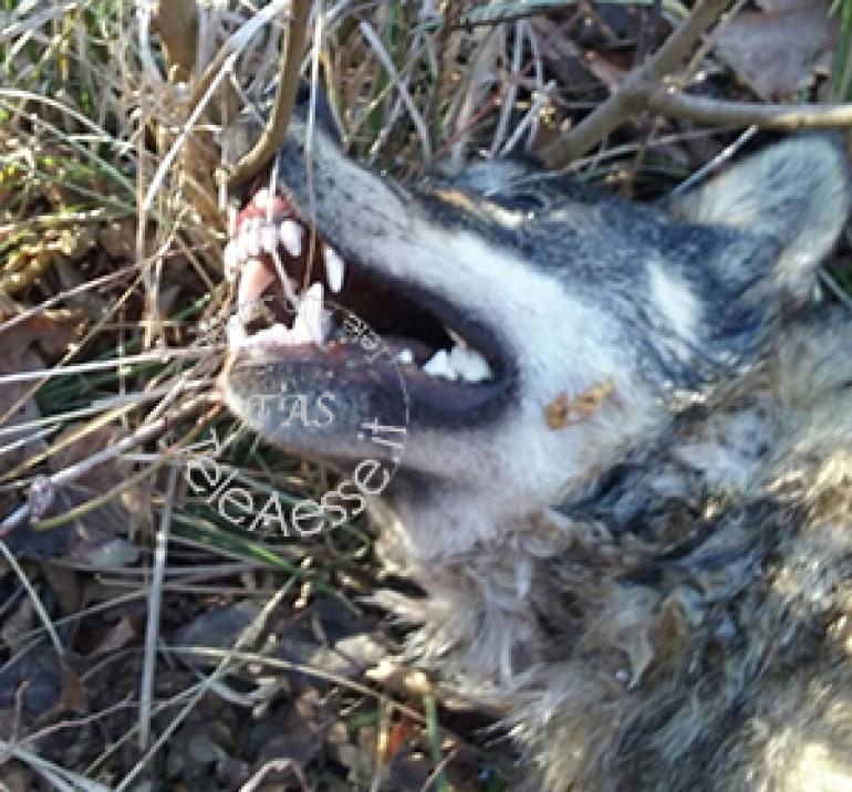 Agnone, lupa muore sul ciglio della strada