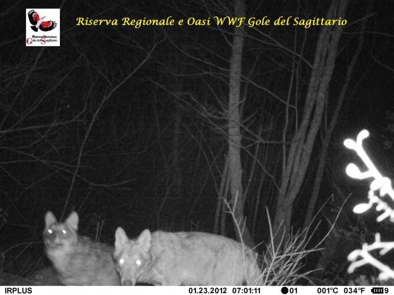 """WWf Abruzzo, on line la petizione """"No, all'abbatimento del lupo"""""""