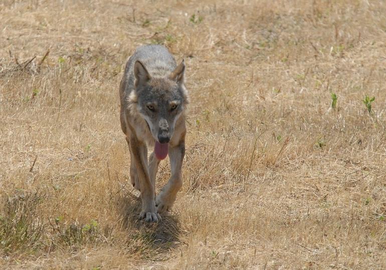 Wwf, salvare il lupo appenninico: insieme è possibile
