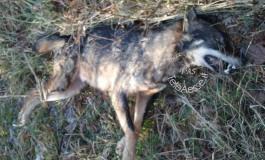 Bracconieri giustiziano un giovane lupo a San Pietro Avellana