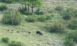Mamma orsa passeggia con 4 cuccioli: spettacolo inedito nel cuore del Pnalm