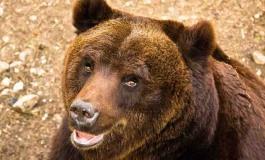 Banca del seme per l'orso bruno marsicano: lo prevede la convenzione per la biodiversità