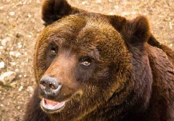 Pescasseroli, focus sull'orso bruno marsicano
