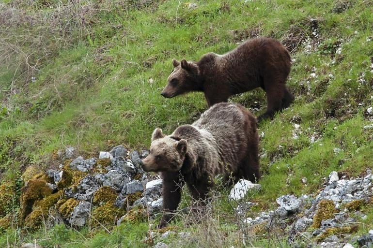 Pescasseroli, convegno sulla biodiversità e la sopravvivenza dell'orso e del lupo