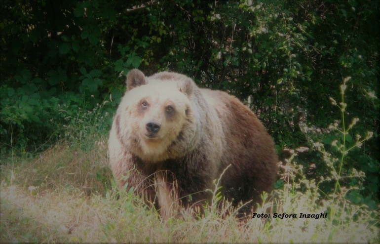 Medicina veterinaria, chirurgia e gestione dell'orso bruno: meeting a Campoli Appennino