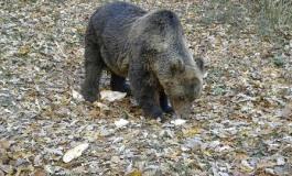 Condannato a risarcire il Pnalm l'uomo che uccise l'orso nel 2014