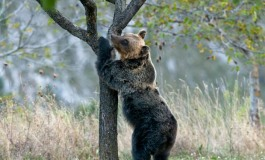Orso bruno marsicano,WWF cerca volontari per attività di tutela in Abruzzo