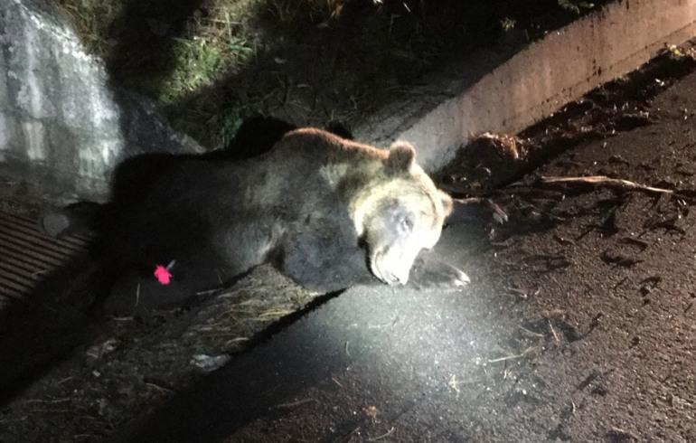 Roccaraso, è morto l'orso investito sulla ss 17